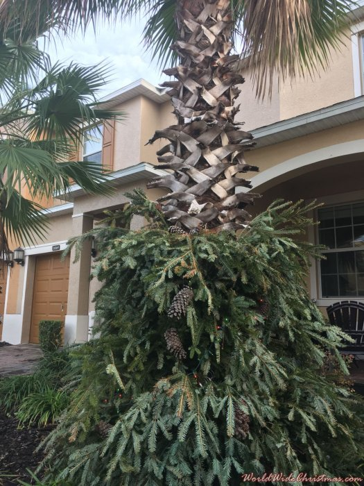 Palma Pino (Orlando, USA)